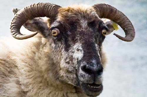 Hell-Sheep